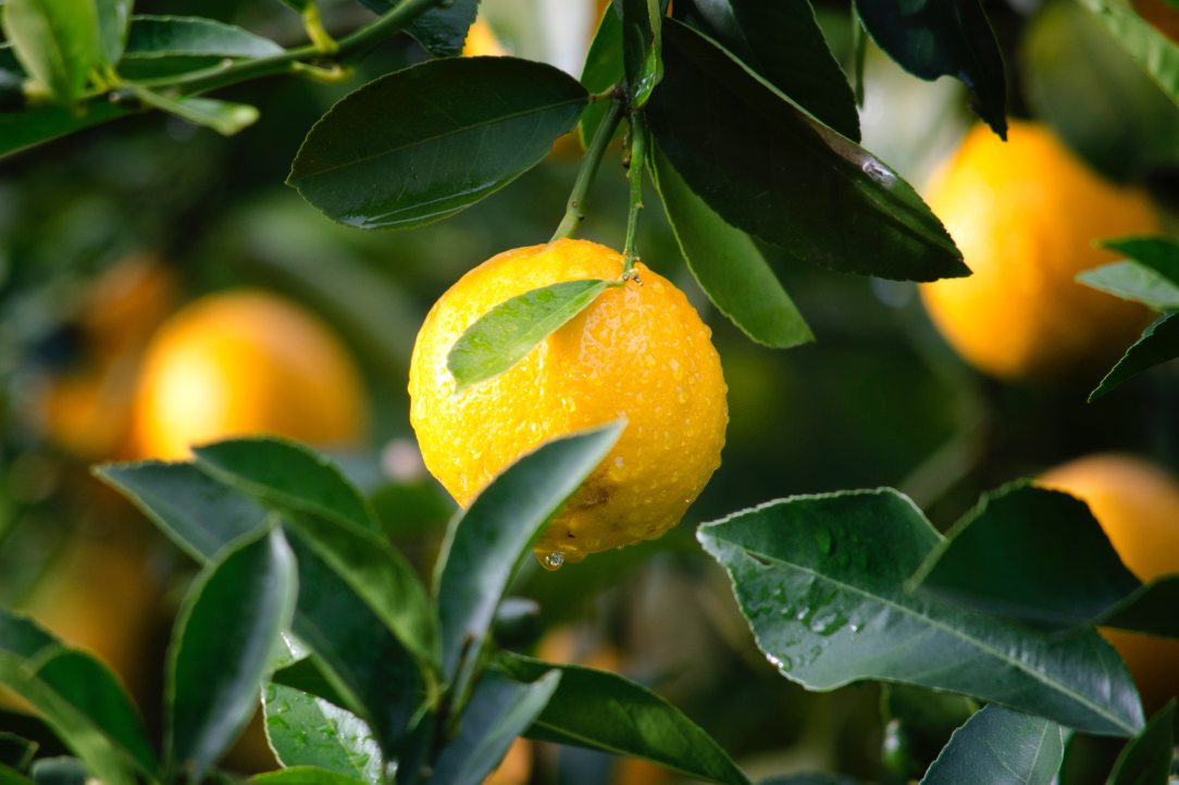 agriculture-citrus-close-up-129574